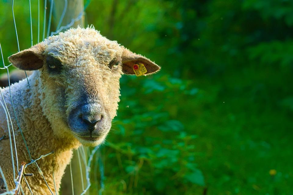 Schafe Murrisch Tier Kostenloses Foto Auf Pixabay