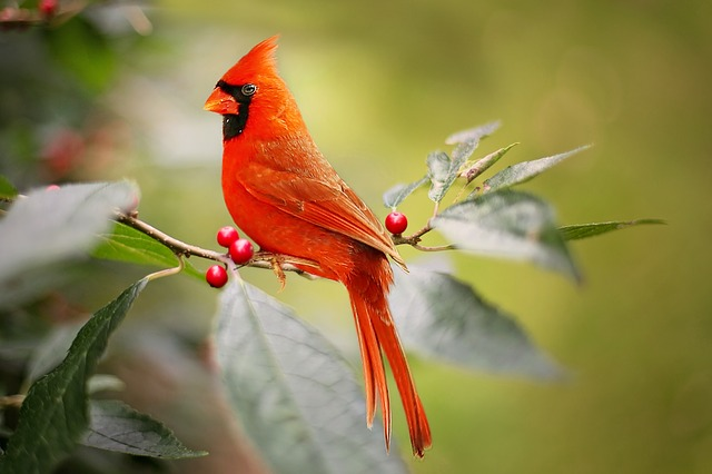 Free Photo Cardinal Bird Red Holly Berries Free