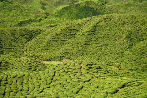 Green, The Tea Plantations, Field