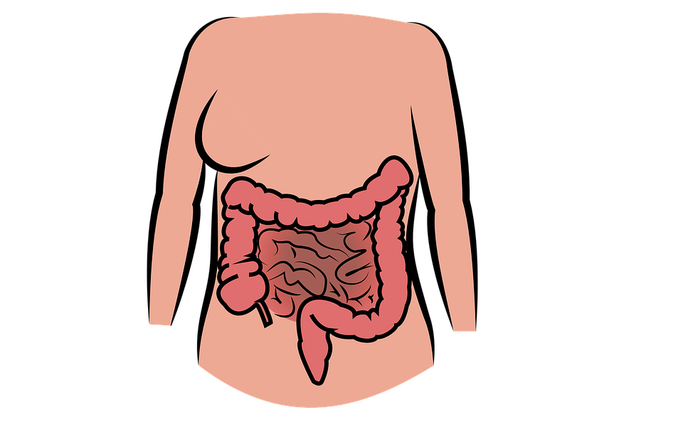 Intestin, Corps Humain, Le Système Digestif, Ventre