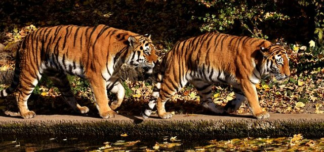 Tiger, Predator, Pair, Fur, Beautiful
