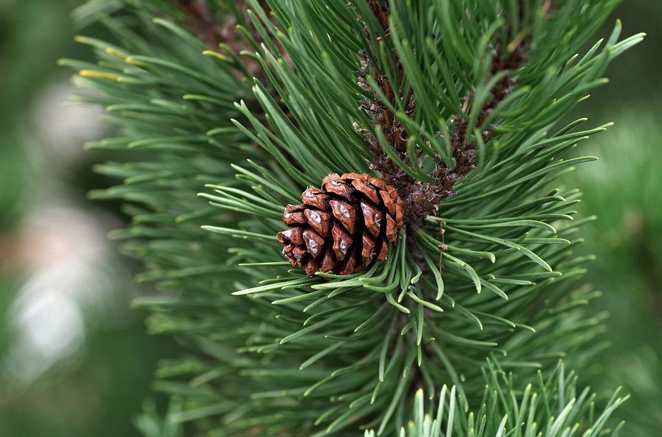 松, 円錐形の松, 必須, 油, 針葉樹, 針, ツリー, 自然, 森, 小枝, グリーン, Iglak