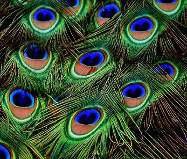 Free Images Of Peacock Feather