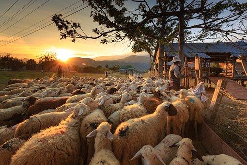 hewan herbivora : kambing