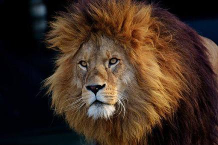 Lion, Predator, Dangerous, Mane, Big Cat, King of the jungle