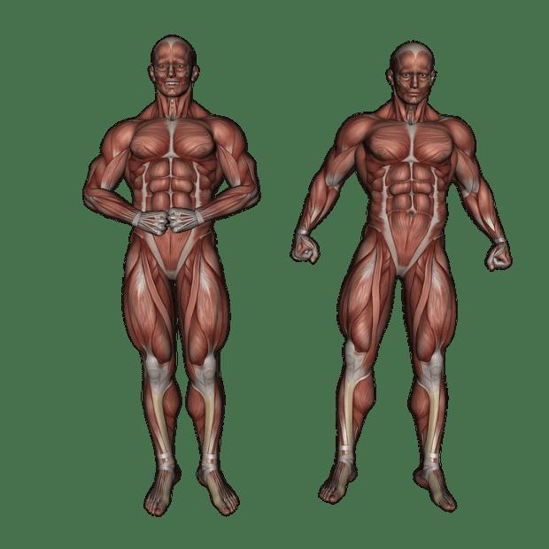 Muscle contraction phenomenon