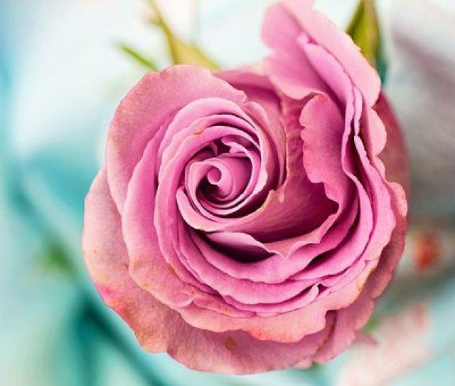 Rose Flower Petal Love Floral Macro