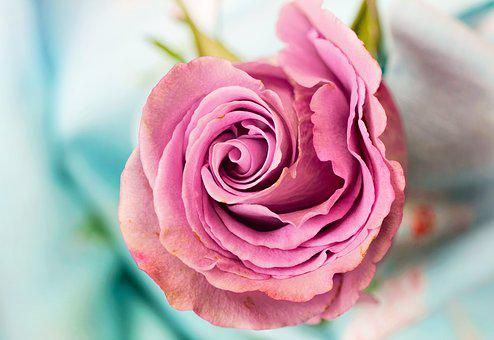Rose, Fleur, Pétale, L'Amour, Floraux