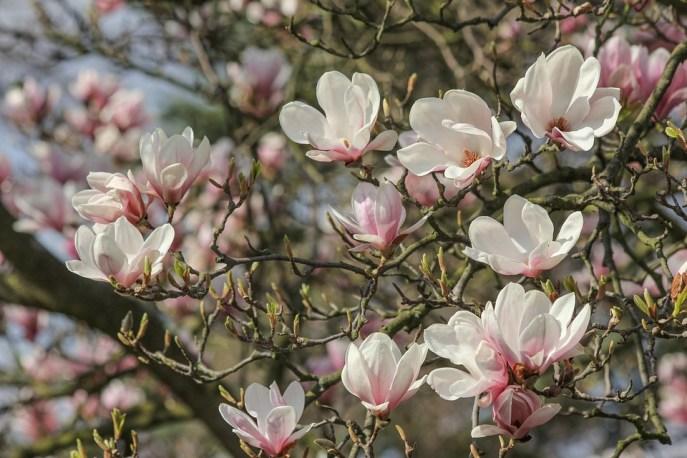 Albero Di Magnolia, Fiori Di Magnolia, Primavera
