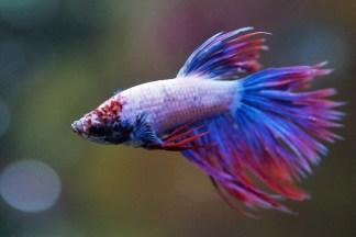 Ikan Cupang Merah Biru Putih