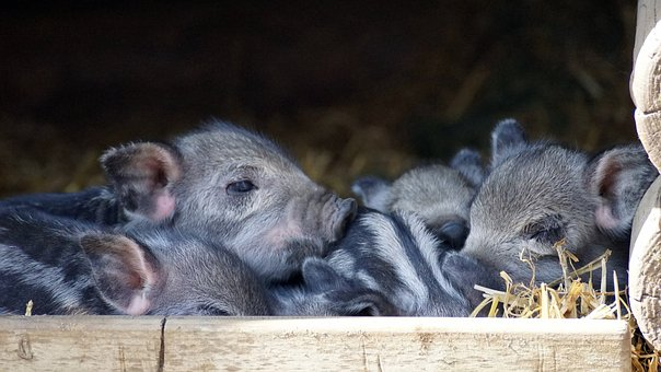 how to raise piglets