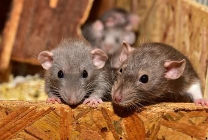 かわいい, 齧歯動物, マウス, 小, 動物, 哺乳類, ラット, 肖像画, 検索, 毛皮, 髪, 鼻