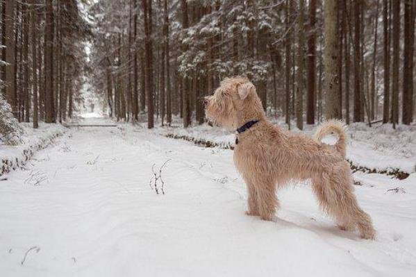 Dog, Forest, Still, Stand, Animal, Snow