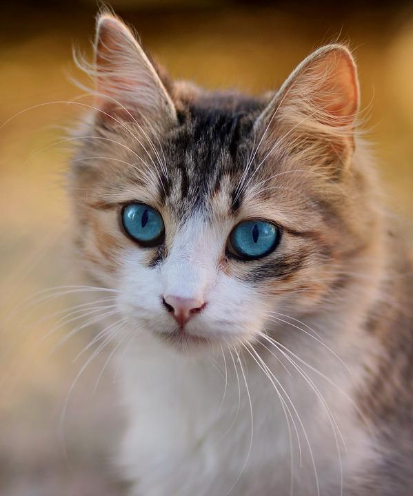 Image of: Blue Eyes Cat Blue Eyes Pet Feline Cats Eyes Musings Of An Artists Wife Cat Blue Eyes Pet Free Photo On Pixabay
