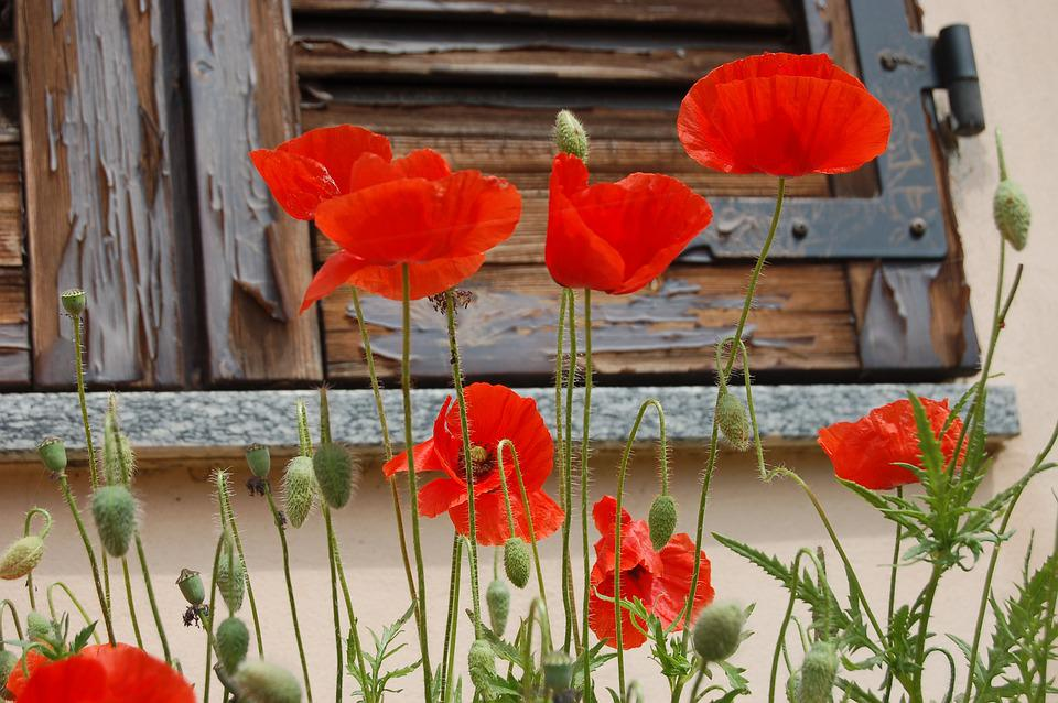 Flowers Poppies Nature Poppy      Free photo on Pixabay flowers poppies nature poppy red