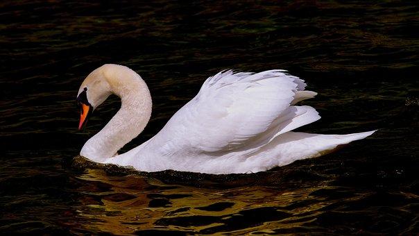 白鳥, 水鳥, 鳥, 羽, 羽毛, 白, Anumtig, 領海, 自然, 動物
