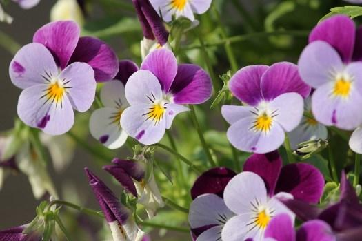Pansy, 400 – 500, Fiore, Primavera, Vicino, Viola