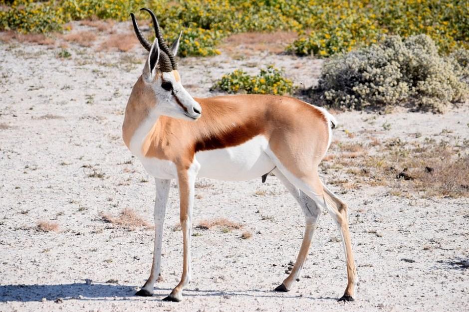 Springbok, Male, Antelope, Wildlife, Africa, Nature
