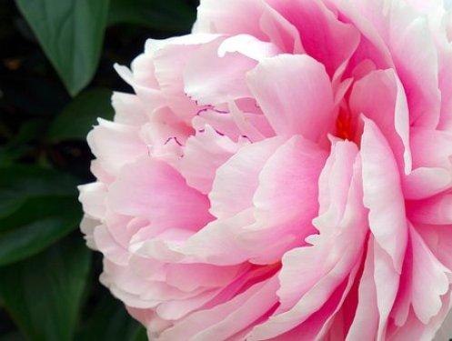 牡丹, 花, ダブル花, フローラ, 観賞植物, 自然, スプリング, ピンク