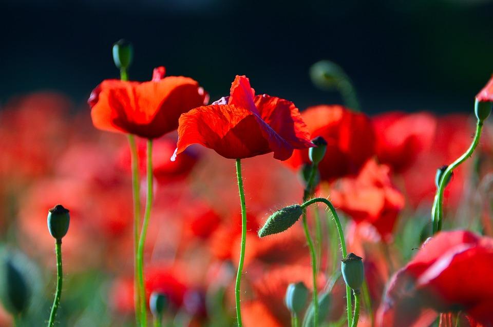 Leinwandbild Kunstdruck Rote Mohnblumen Vidaxl De