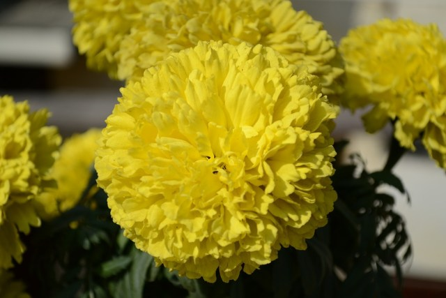 Flower, Genda, Yellow, Marigold agriculture business ideas in hindi