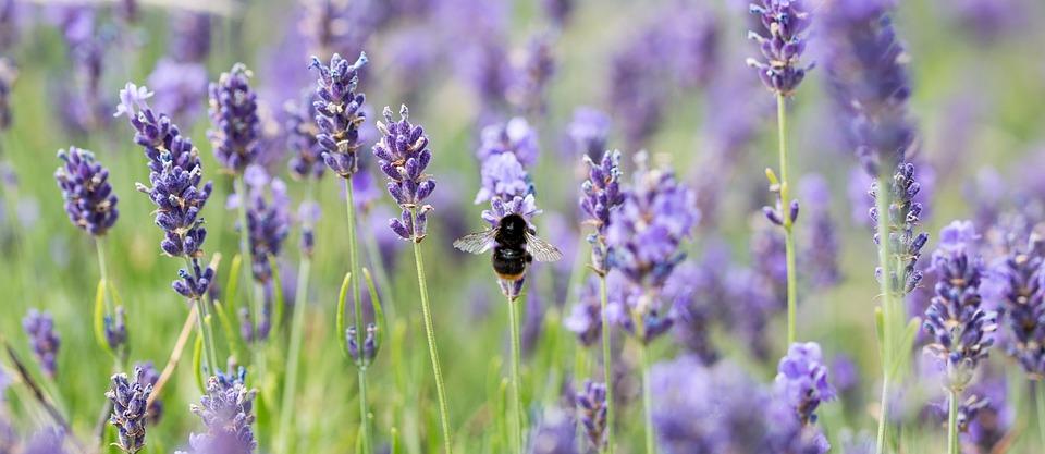 lavande abeilles abeille a miel photo
