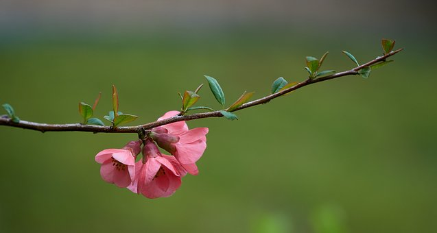 Quince, Spring, Flowers, Japanese