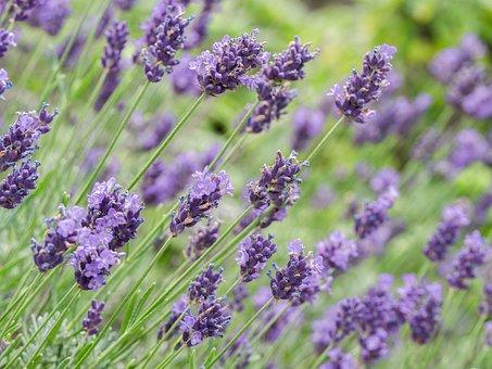 Fleurs, Lavande, Violet, Bloom, Pourpre