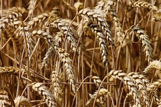 Grano, Punta, Cereali, Campo, Agricoltura