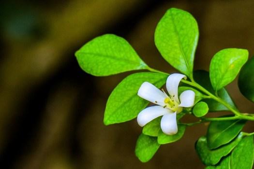 Guri Incenso, Fiore, Naturale, Bianco, Giallo, Verde