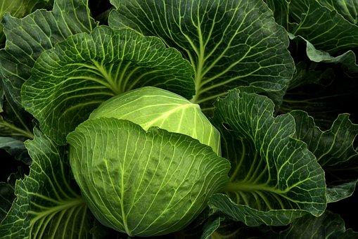キャベツ, 栽培, 野菜, 健康, キャベツ畑, 緑, 食品, 農業, 葉