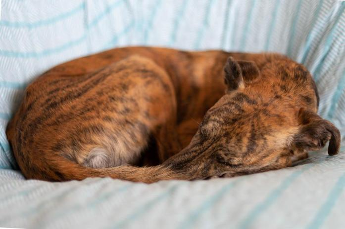 Dog, Asleep, Curled, Stripes, Brown, Placid, Sofa