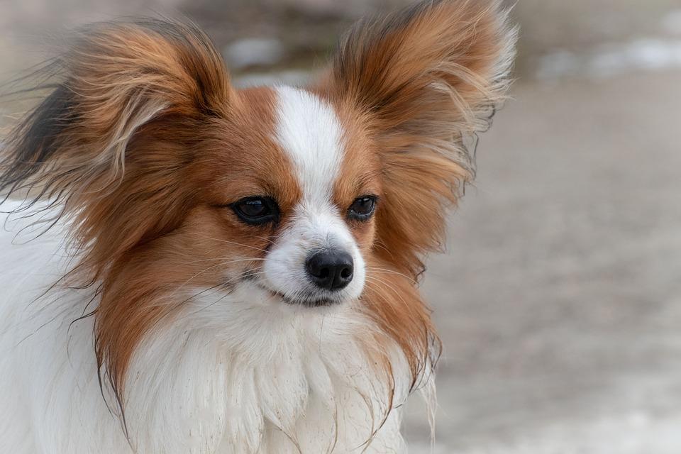 Dog, Dwarf Spaniel, Papillon, Animal, Cute, Portrait