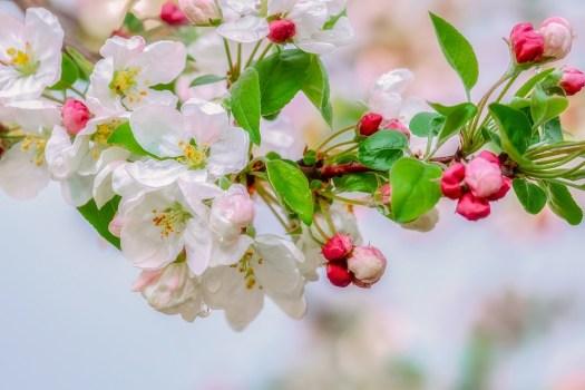 Blossom, Abbellimento, Goccia Di Pioggia, Ramo
