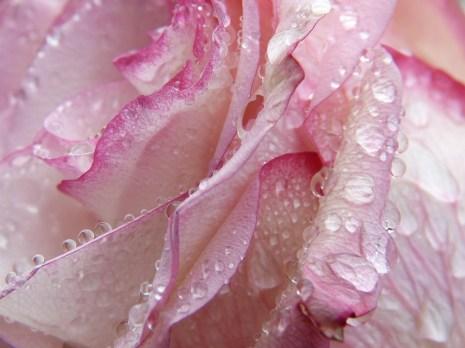 Rose, Drip, Water, Macro, Drop Of Water, Beaded