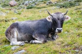 Cow, Beef, Ox, Weidetier, Ungulate, Livestock, Pasture