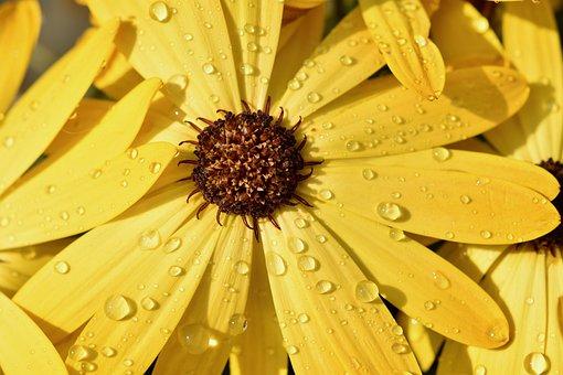 花, 花びら, 雨滴, 雨, 水滴, 雄しべ, 植物, 黄色, 自然, 庭