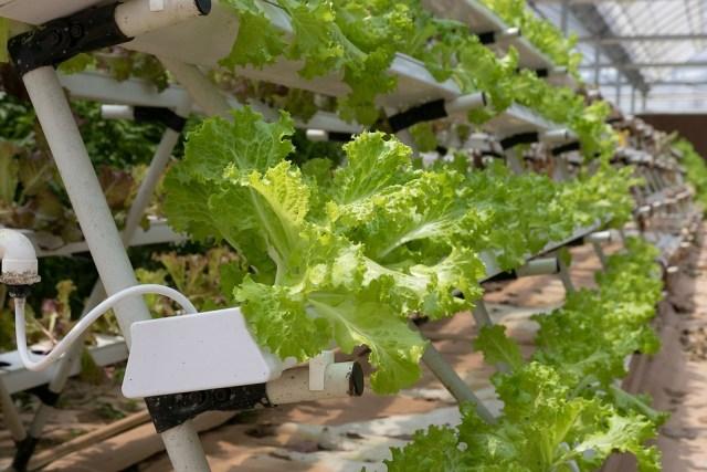Hydroponics, Greenhouse, Lettuce