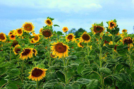 Sunflowers, Field Of Sunflowers, business in the village india