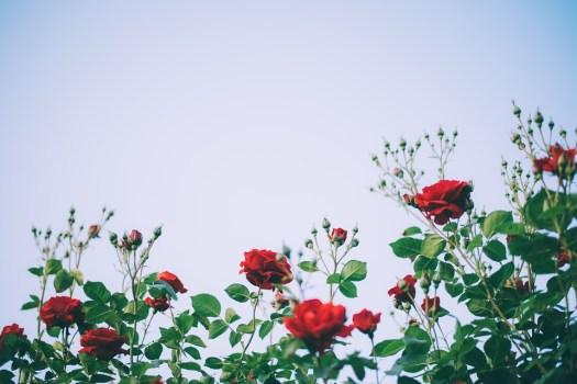 Rose, Fiore, Bellezza, Giardino Di Rose, Giardino, Red