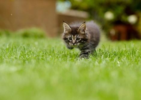 猫, 動物, Tame, プッシー, プレデター, ヘッド, かわいい, 愛らしい, 好奇心が強い, 閉じます