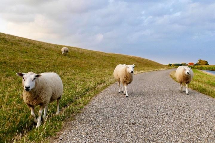 Ovce, Hrádza, Waddenzee, Friesland, Lúka, Tráva, Vlna