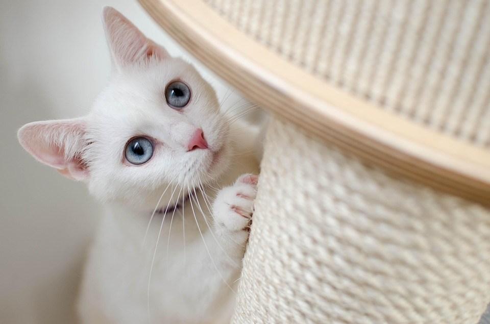 ホワイト, 猫, 彼女は、猫, 美しい, ホーム, 白子, 奇跡, 引掻投稿, 目