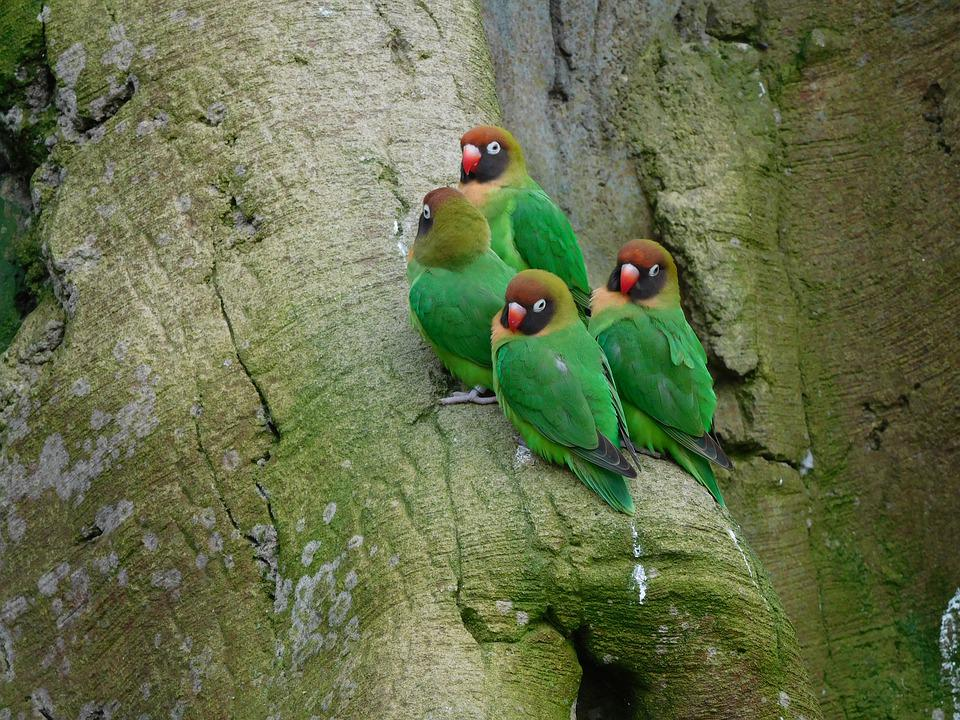 Lovebirds Love Birds Eclectus Free Photo On Pixabay