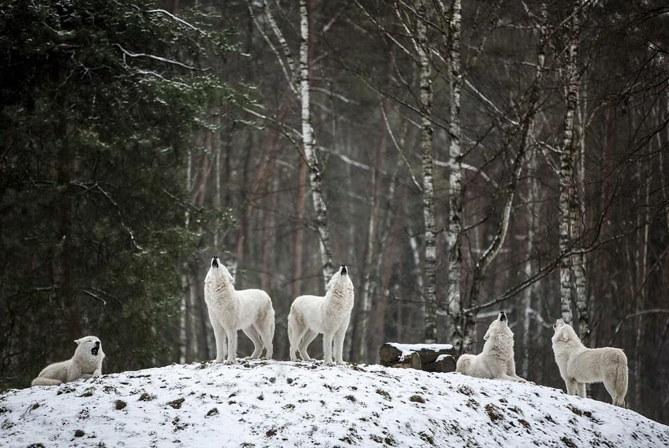 Polarwolf, オオカミ, 荒野, ホワイト, 森林, 冬, 霜, 冷, 風景, 雪の, 野生