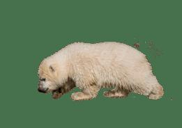 Polar Bear, Bear, Ours Polaire, Isolé, Blanc