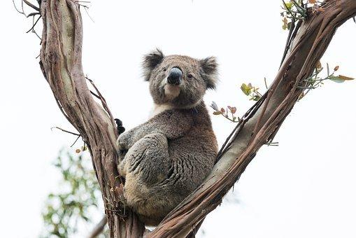hewan mamalia koala