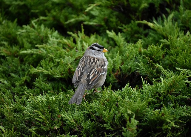 White-Crowned, Sparrow, Songbird, Backyard, Bird
