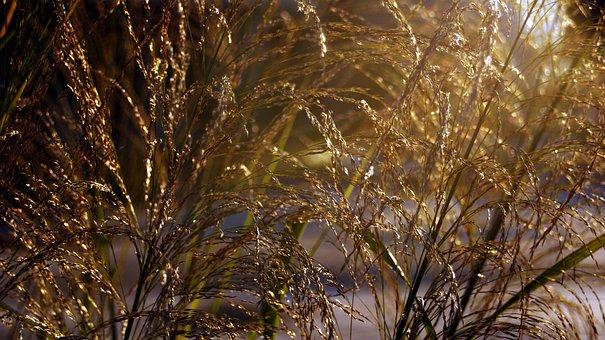 100+ kostenlose Millet und Hirse-Bilder - Pixabay