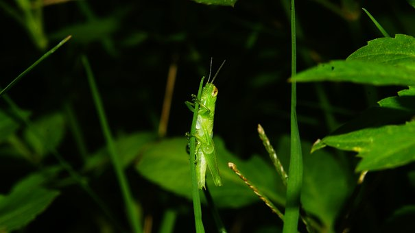 Locust, Insect Pests, Insect, Green,COVID-19